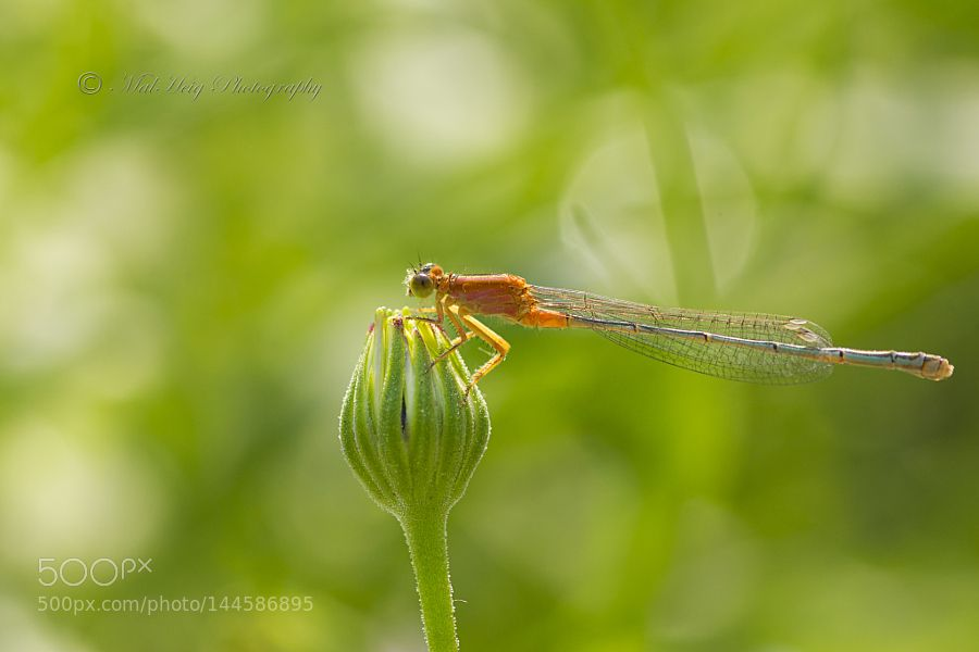 Damselfly by MalHeig. @go4fotos