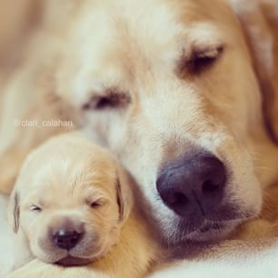 Golden retriever puppy with mother More