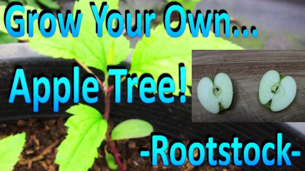 How to grow / keep Papaya trees short and set fruits early