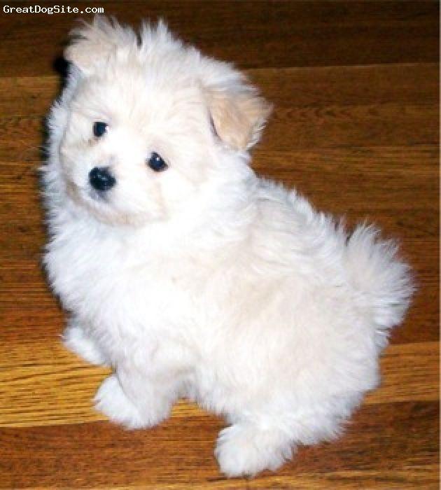 Maltipom Maltese puppy, Pom dog