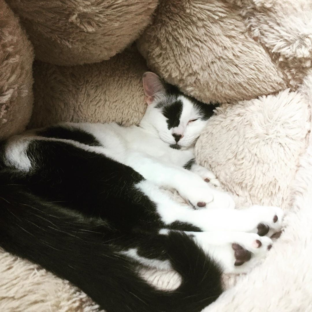 Sometimes You Have To Let The Bed Swallow You Kitten Kittens Kittensofinstagram Cat Cats Catsofinstagram Blackandwhite Spo Baby Cats Cat Nap Cute Cats