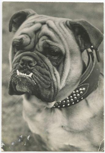 Antique Vintage RPPC Real Photo Postcard Cute ENGLISH BULLDOG Portrait