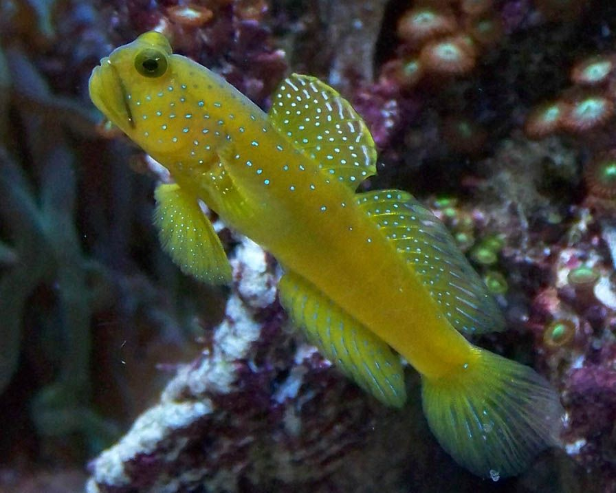 Yellow Watchman Goby Under The Sea Fish Pet Animals