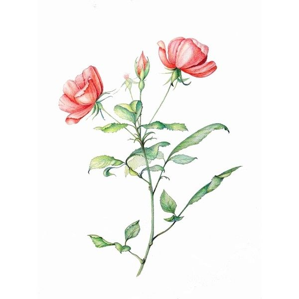 Rosa Blushing Knock Out ❤ liked on Polyvore featuring flowers, fillers, drawings, flores and pink