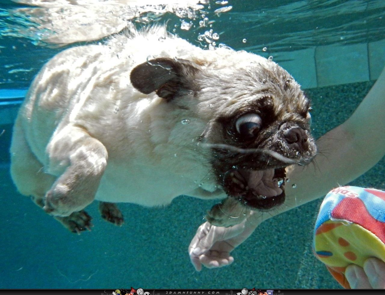 pug pics funny derp pug dives for the ball in pool