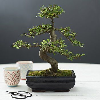 Shaped Elm Indoor Bonsai Tree