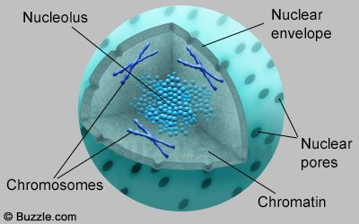 nucleus structure organelles cell organelles animal on cell wall function id=82450