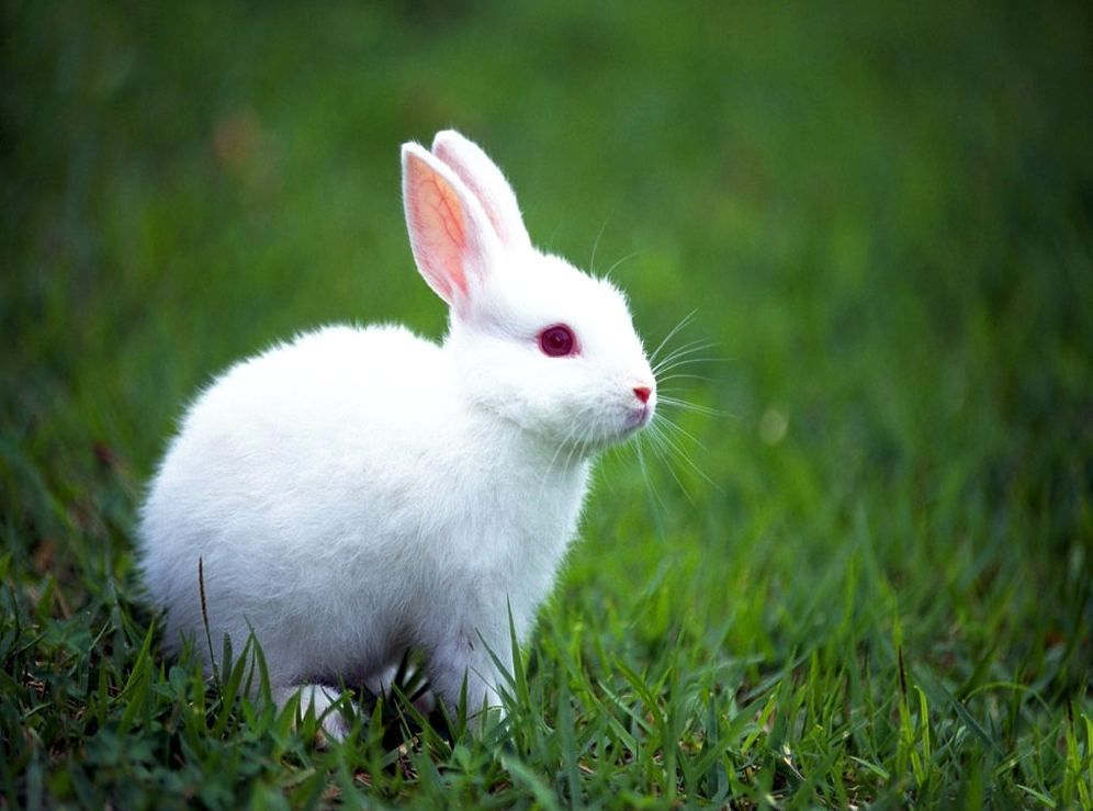 Pin By Cindy Mcniel On Animals Cute Baby Bunnies Rabbit Wallpaper Albino Animals