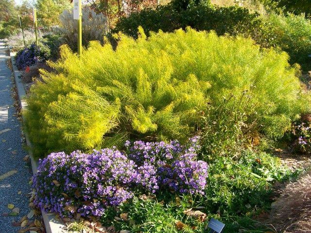 amsonia hubrichtii arkansas plants pinterest plants and gardens. Black Bedroom Furniture Sets. Home Design Ideas