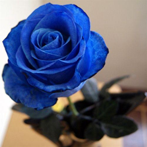 Blue Vendela Rose.                                                                                                                                                                                 Mais