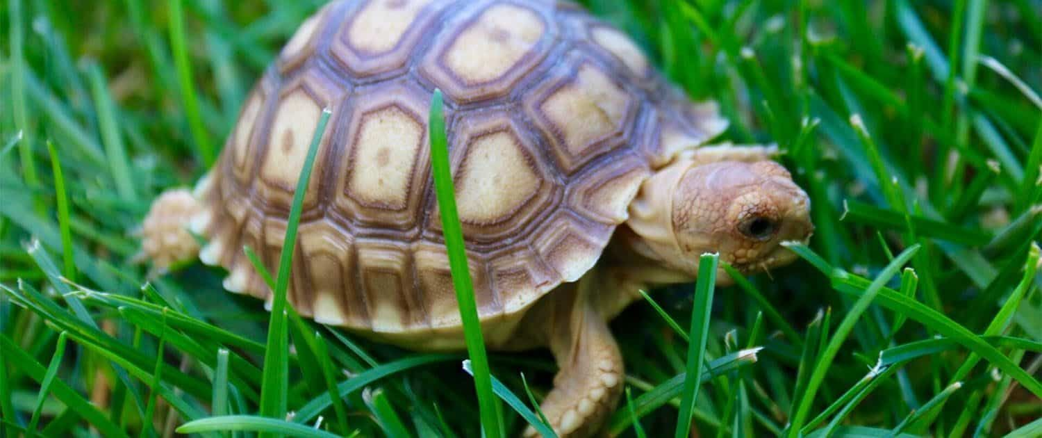 Sulcata Tortoise Care Sheet African Spurred tortoise care