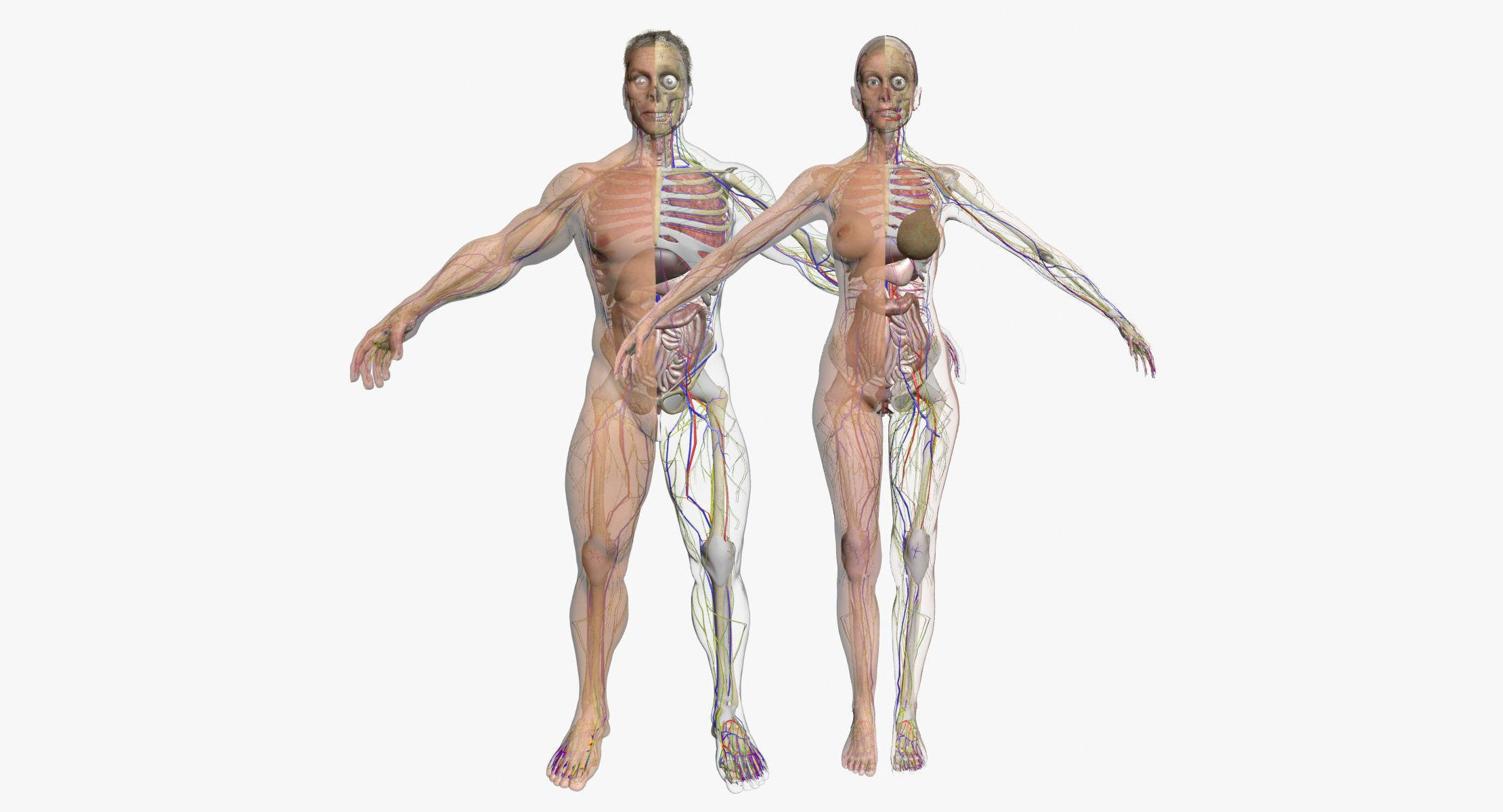 Full Female And Male Body Anatomy 3DSmax | 3D model | 3D Characters ...