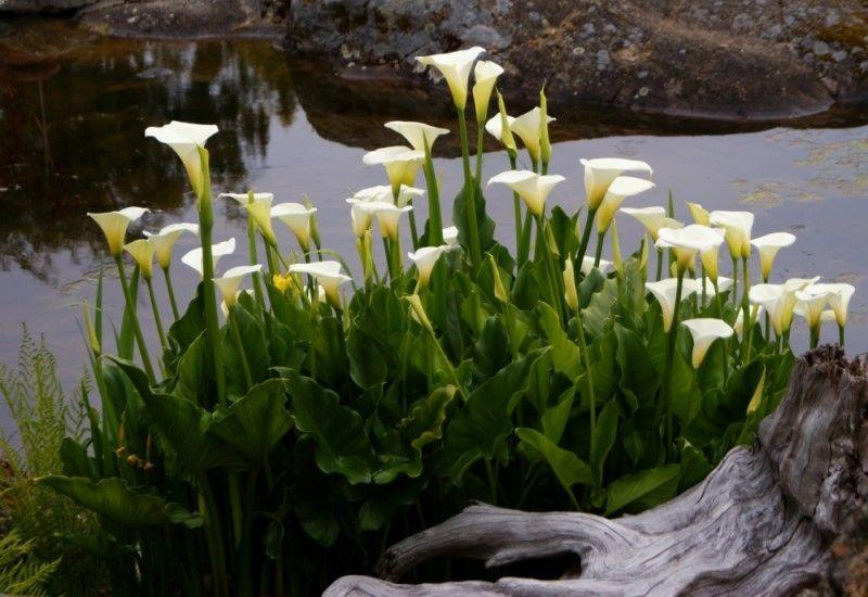 Calla Lilies In The Garden Google Search Calla Lily Flowers Calla Lily Lily Garden