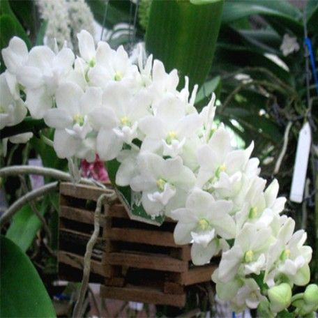 Zynah Orchids Is A One Stop Shop For All Your Orchid Related Needs Within The Limited Period Zynahorchids Com Is No Orchids Online Orchid Plants Buy Orchids