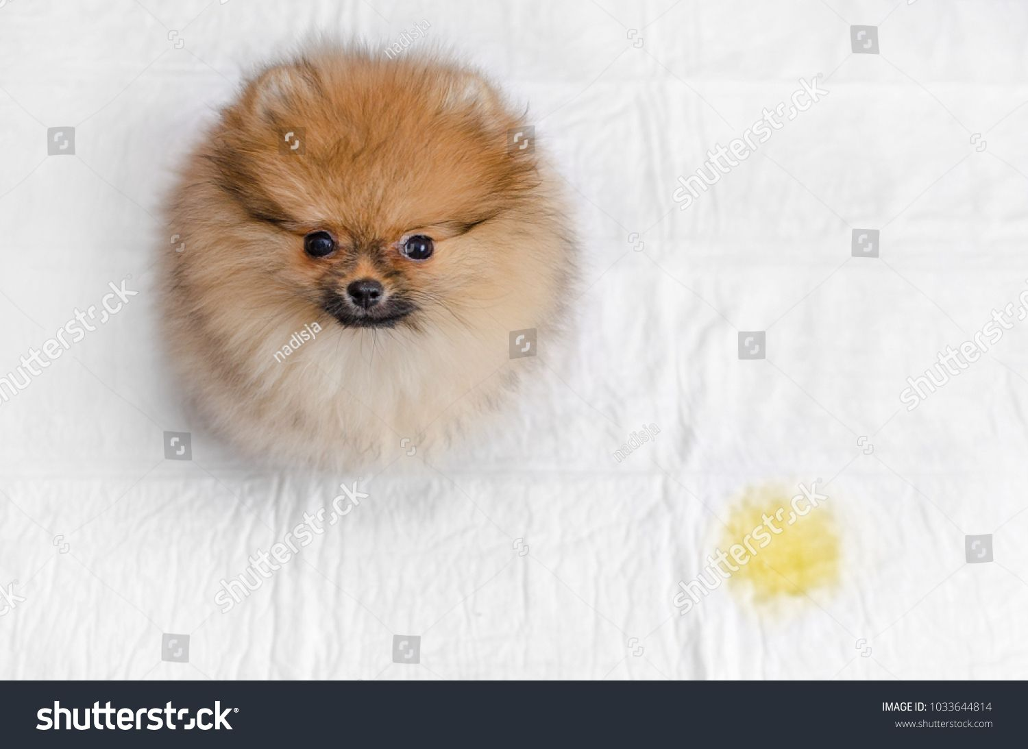 Fluffy Pomeranian Puppy And Urine Puddle View From Abovepuppy Pomeranian Fluffy View Dog Boarding Near Me Dog Tags Dog Pee