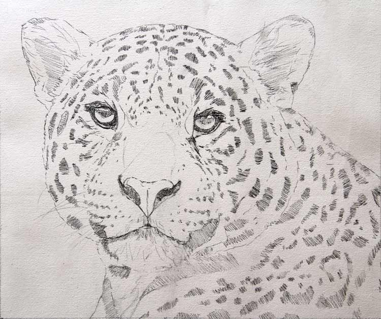 Line Drawing Jaguar : How to draw jaguar step by google search this is