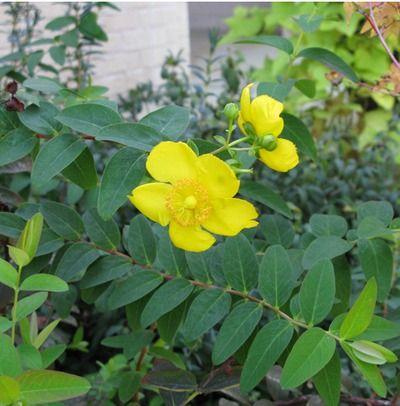 St. John's wort, shrubby 'Sunburst'   Drought tolerant ...