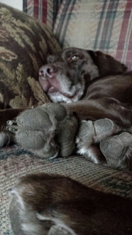 Love me some paws. My girl Chloe. Chocolate Lab age 13. My baby lol