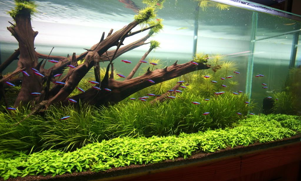 Staurogyne Repens Google Search AQUASCAPING LAYOUT