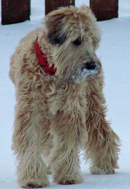 Beautiful And Cute York Terrier Dog: Buckeye The Wheaten Terrier