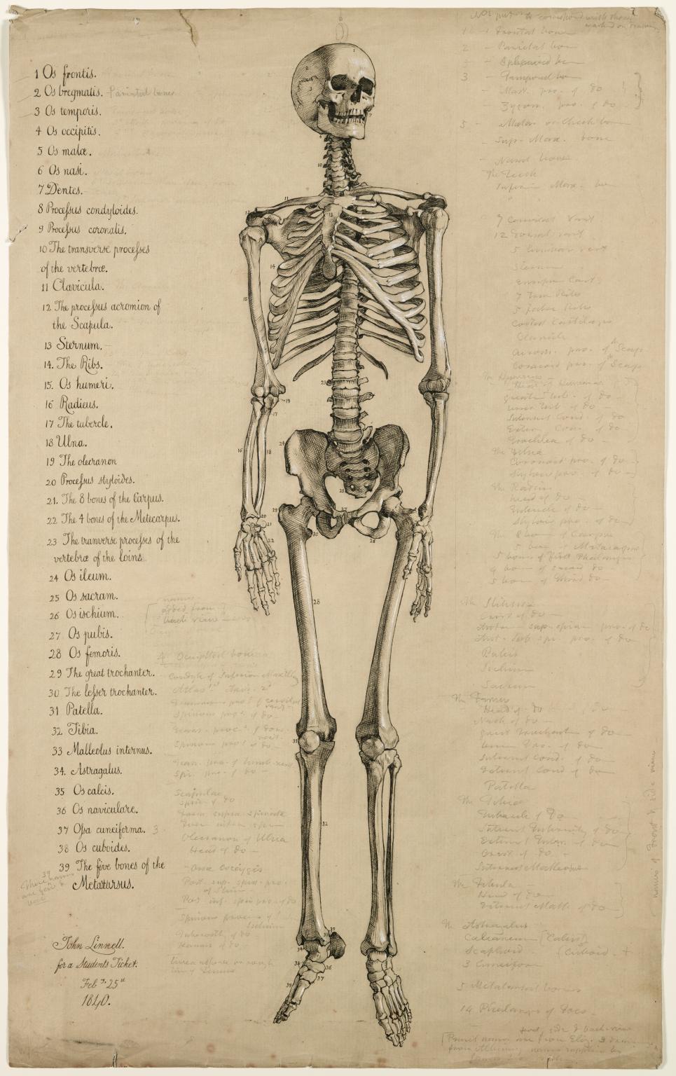 Anatomical Drawing Of A Human Skeleton England 1840 Anatomy