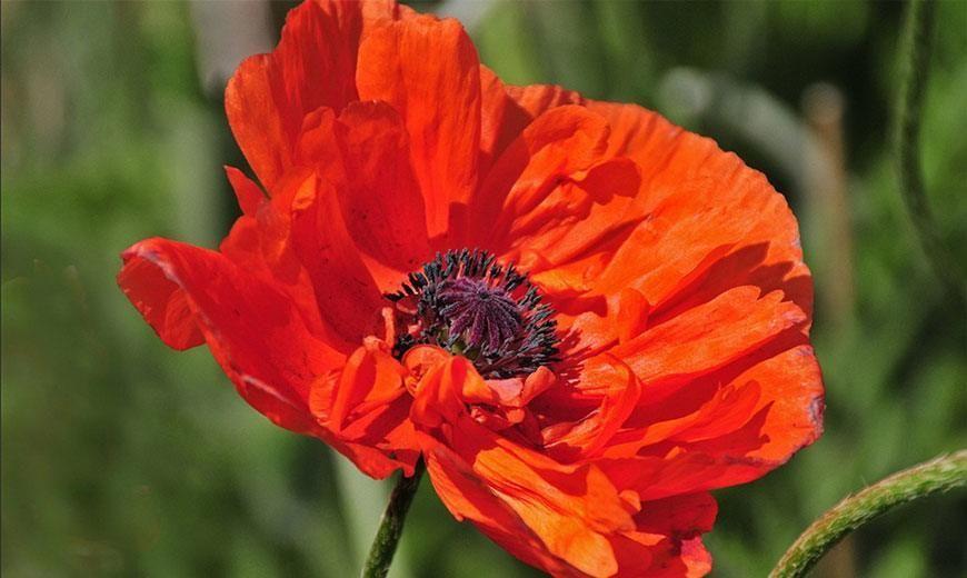 картинки цветка мак садовый под любое количество