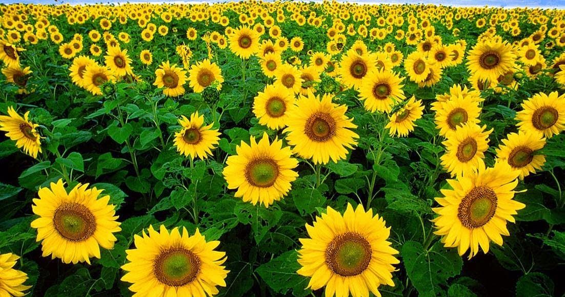 13 Morphological Sunflowers Classification And Characteristics Of 13 Bunga Matahari Morfologi Klasifikasi Dan Ciri In 2020 Sunflower Pictures Plants Sunflower