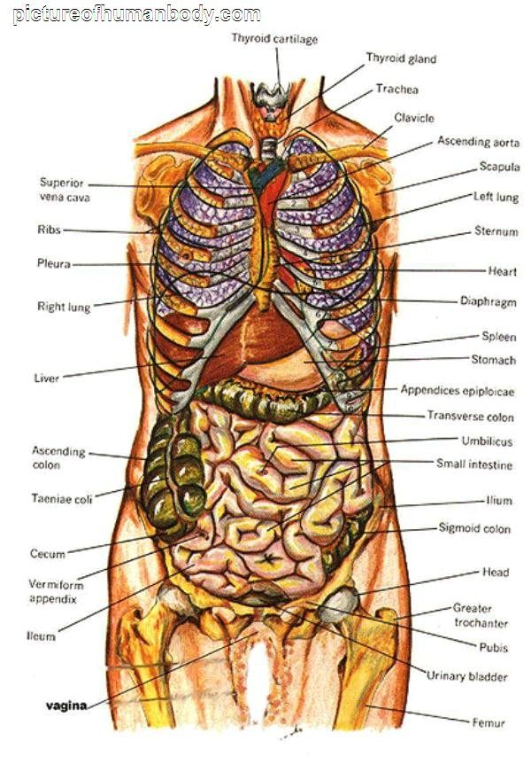 Diagram of the organs in the human body