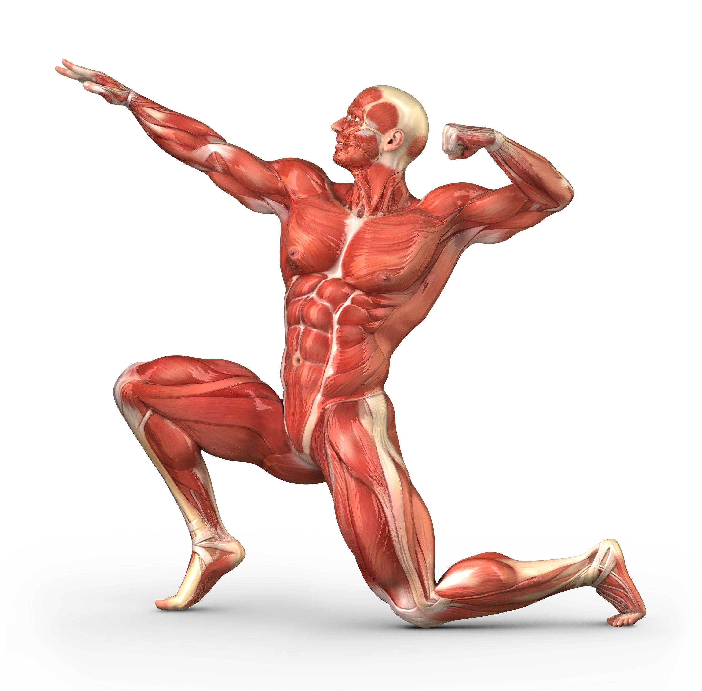 """Clasificación de los músculos"""" •Tejido muscular esquelético: puede ..."""