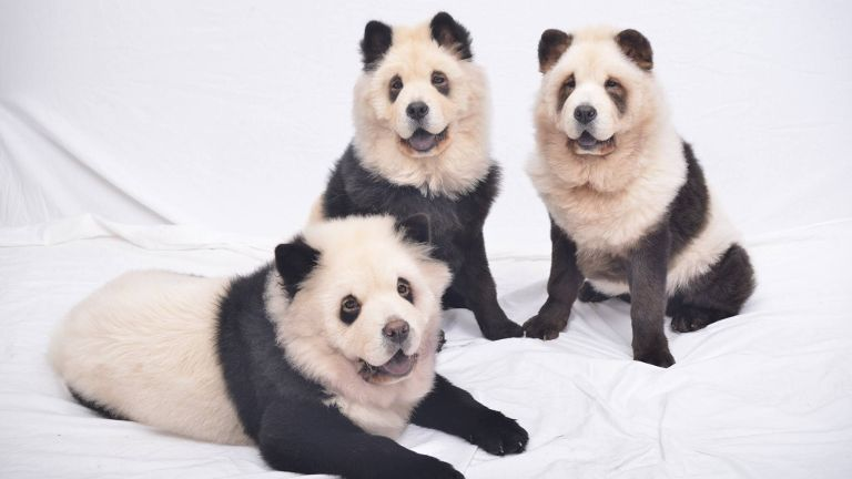 panda chow chow dyeing chow chows to look like pandas