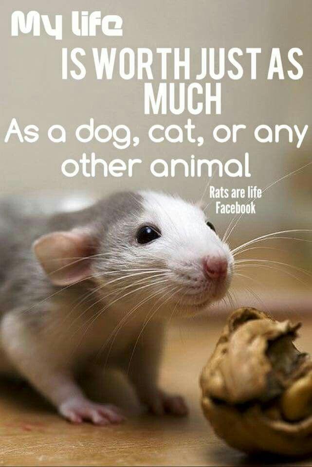 Pin By Alexzandra Westin On Animals 1 Rats You Must Love Ratties Pet Rats Cute Rats Baby Rats