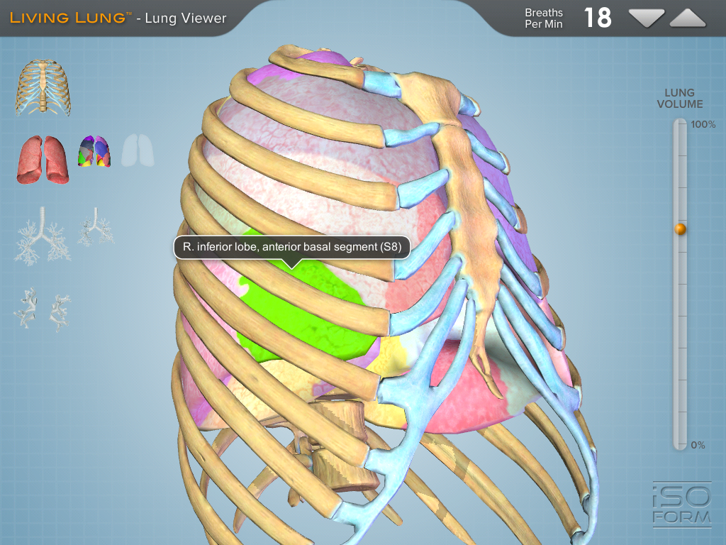 Living Lung A 3d Interactive Model Of The Lungs Human Anatomy