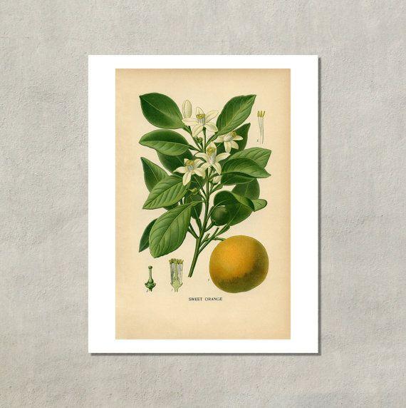 botanical prints reproductions   Sweet Orange Botanical Print, 1890 - 8.5x11 Reproduction Antique Print ...