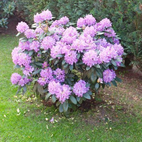 rhododendron sollten j hrlich geschnitten werden um ihre bl te zu f rdern garten garten. Black Bedroom Furniture Sets. Home Design Ideas