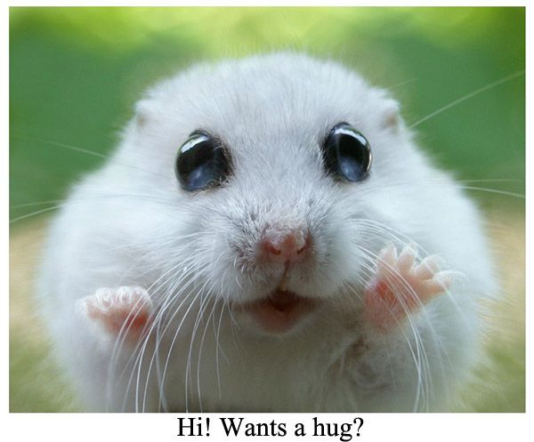 A Cute Dwarf Hamster Dwarf Hamsters Pinterest Dwarf - Hamster bartenders cutest thing youve ever seen