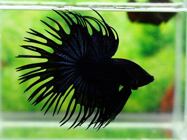 Black Crowntail Betta | Pets | Pinterest | Betta, Fish and ...