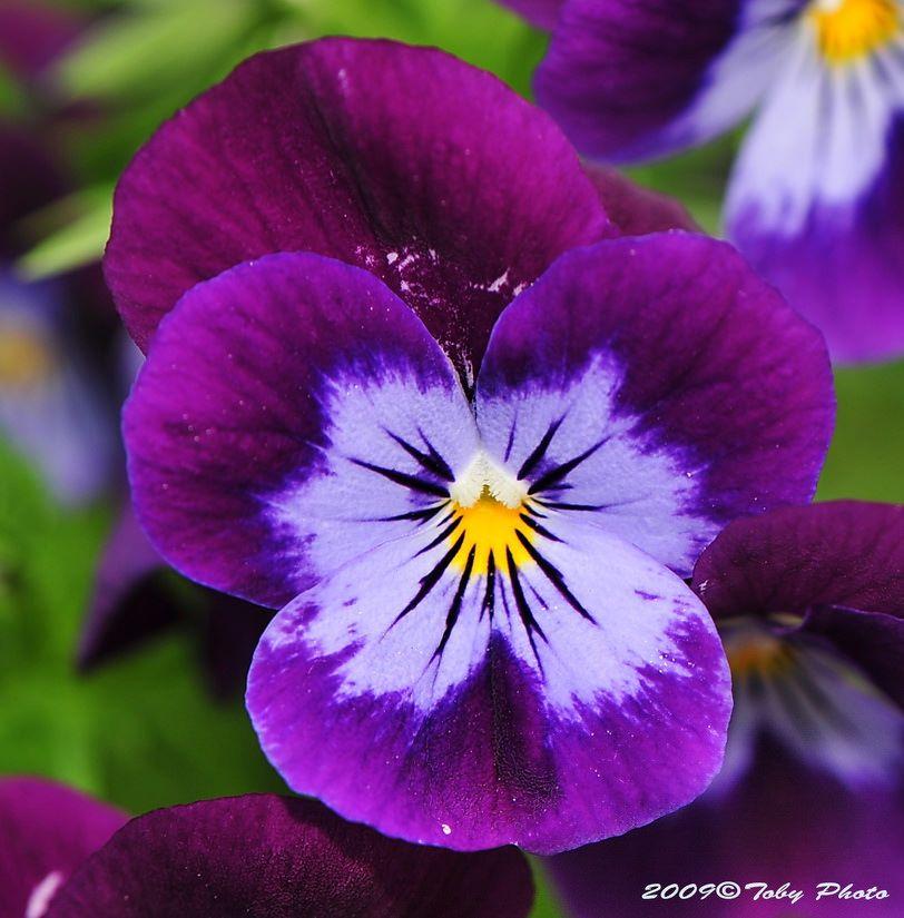 cDSC_3107 | Цветы, Анютины глазки и Фиалки