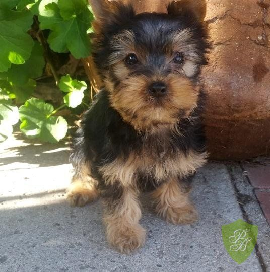 Puppies For Sale Colorado Yorkie Breeders Yorkie Breeders