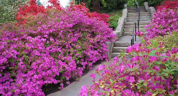 Biltmore Azalea Garden With Images Azaleas Garden Garden