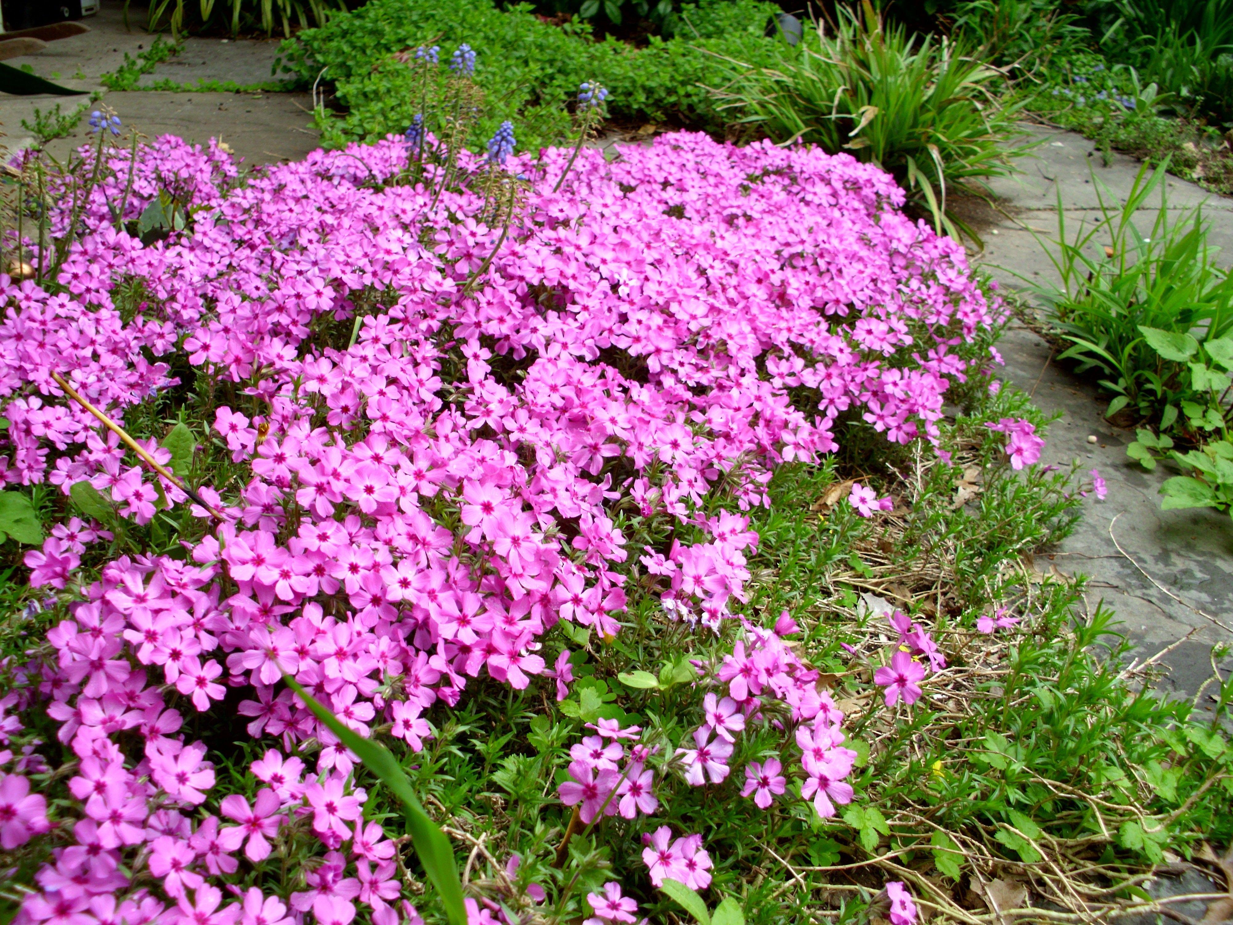 Phlox subulata. Creeping Phlox. | Planting Design ...