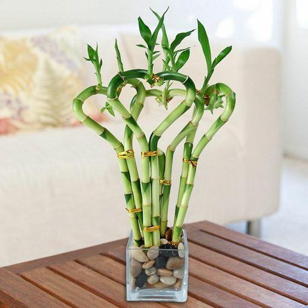 Die besten zimmerpflanzen deco - Bambus pflege zimmerpflanze ...