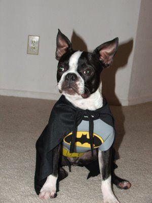 boston in a batman costume - Halloween Costumes In Boston