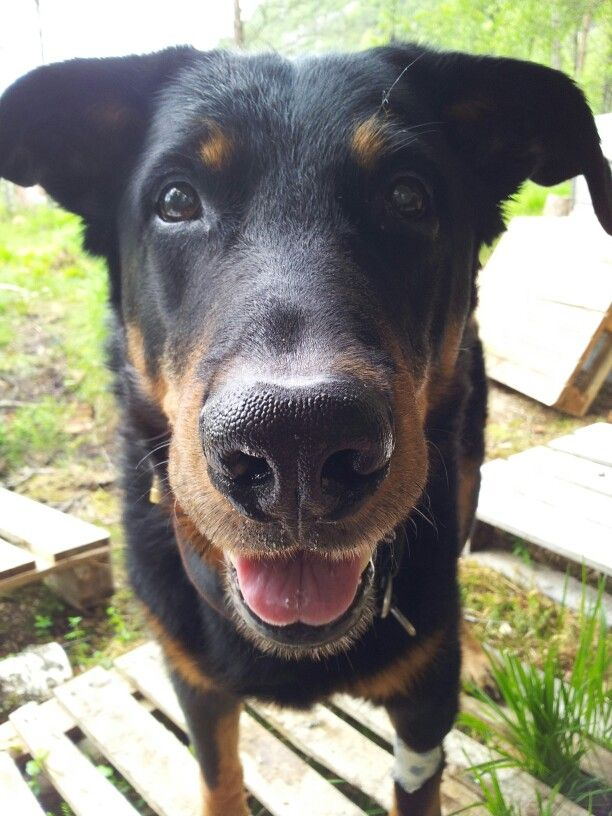 Robusto Our Beauceron Unusual Dog Breeds Herding Dogs Breeds Pet Vet