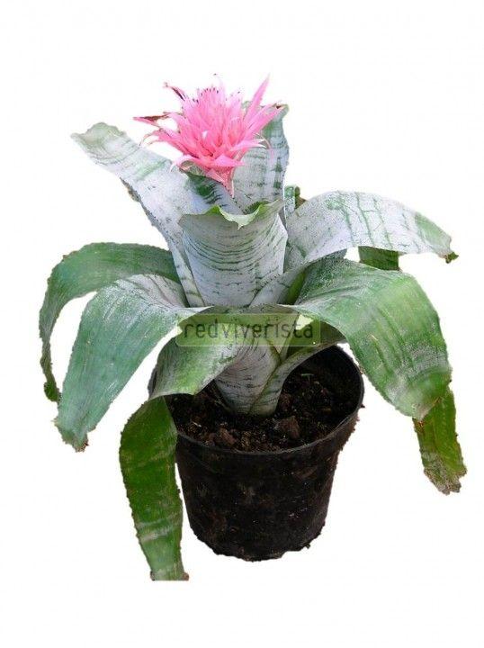 Bromelia aechmea bromelia plantas jardin plantas for Vivero plantas exoticas