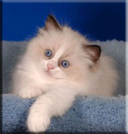Toledo Oh Ragdoll Breeder Kittens For Sale Supurr Ragdolls Kittens Cutest Ragamuffin Cat Kittens