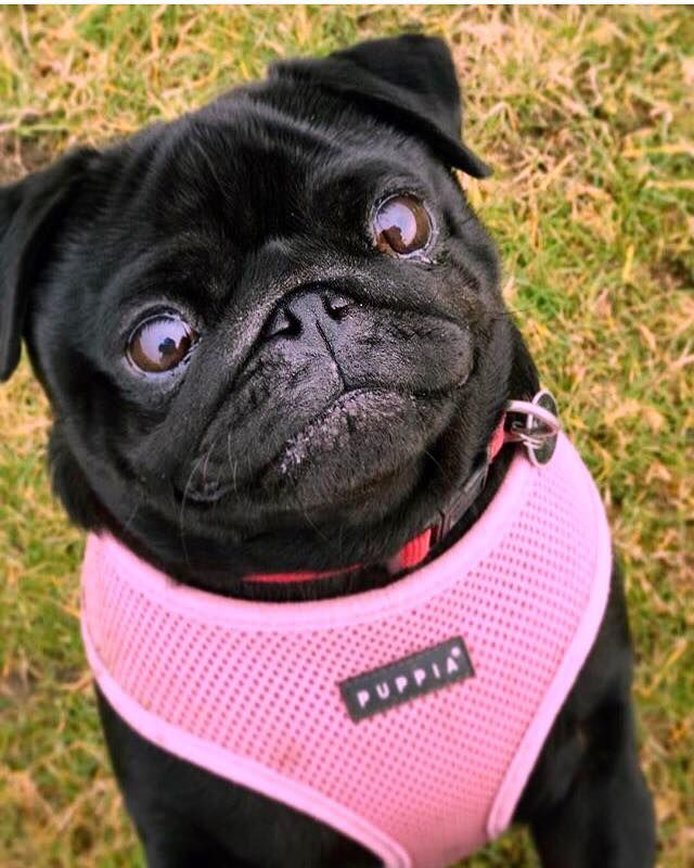 Pink Puppia Soft Harness Available At Www Ilovepugs Co Uk Sizes S