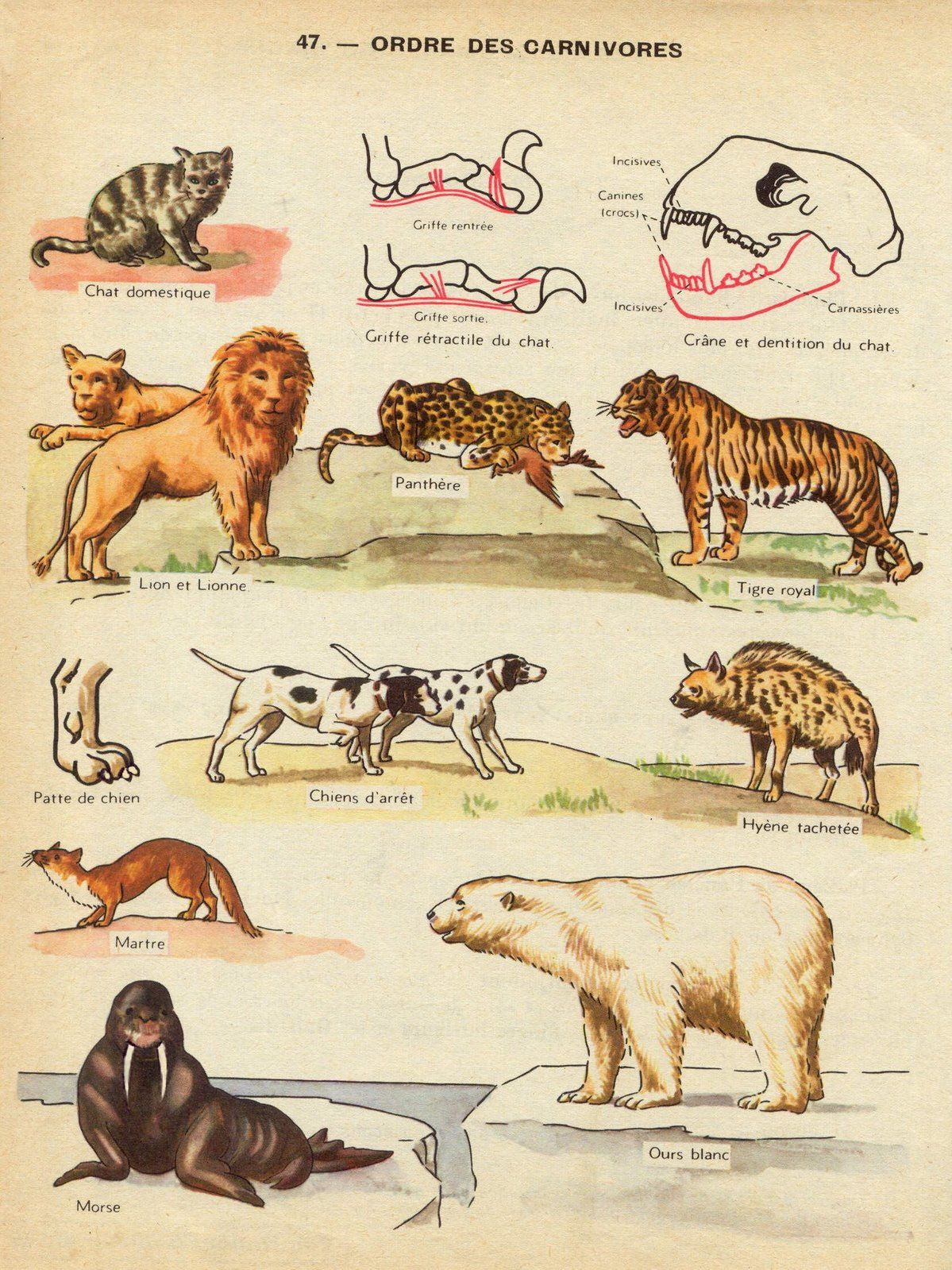 planche des carnivores | Zoology, Animal drawings, Waldorf ...