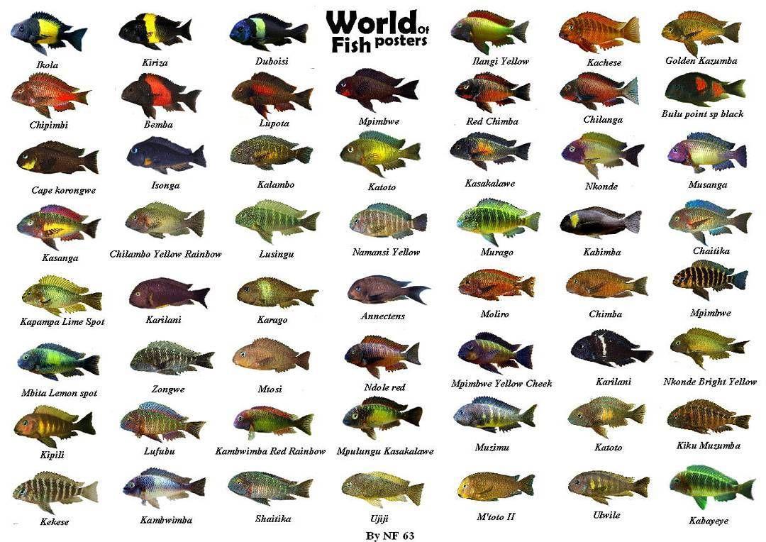 Iran Tropheus On Instagram Irantropheus Tropheus Cichlid Moorii Tanganikafishlover Name Appearance Found African Cichlid Aquarium Cichlid Aquarium Cichlids