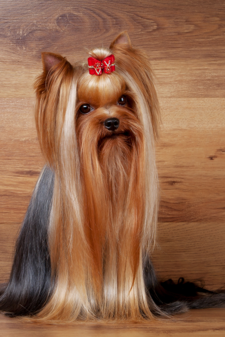 Yorkie Puppy On Table With Wooden Texture Yorkshireterrier Yorkie Puppy Yorkshire Terrier Yorkie
