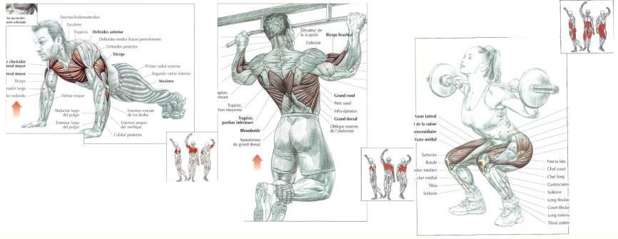 pull ups muscles worked diagram | Diarra